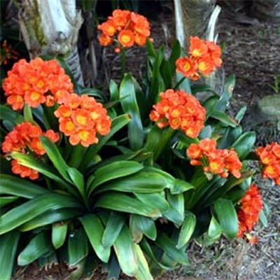 Clivia - landscape supplies Sunshine Coast