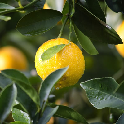 lemon trees - landscape supplies Sunshine Coast